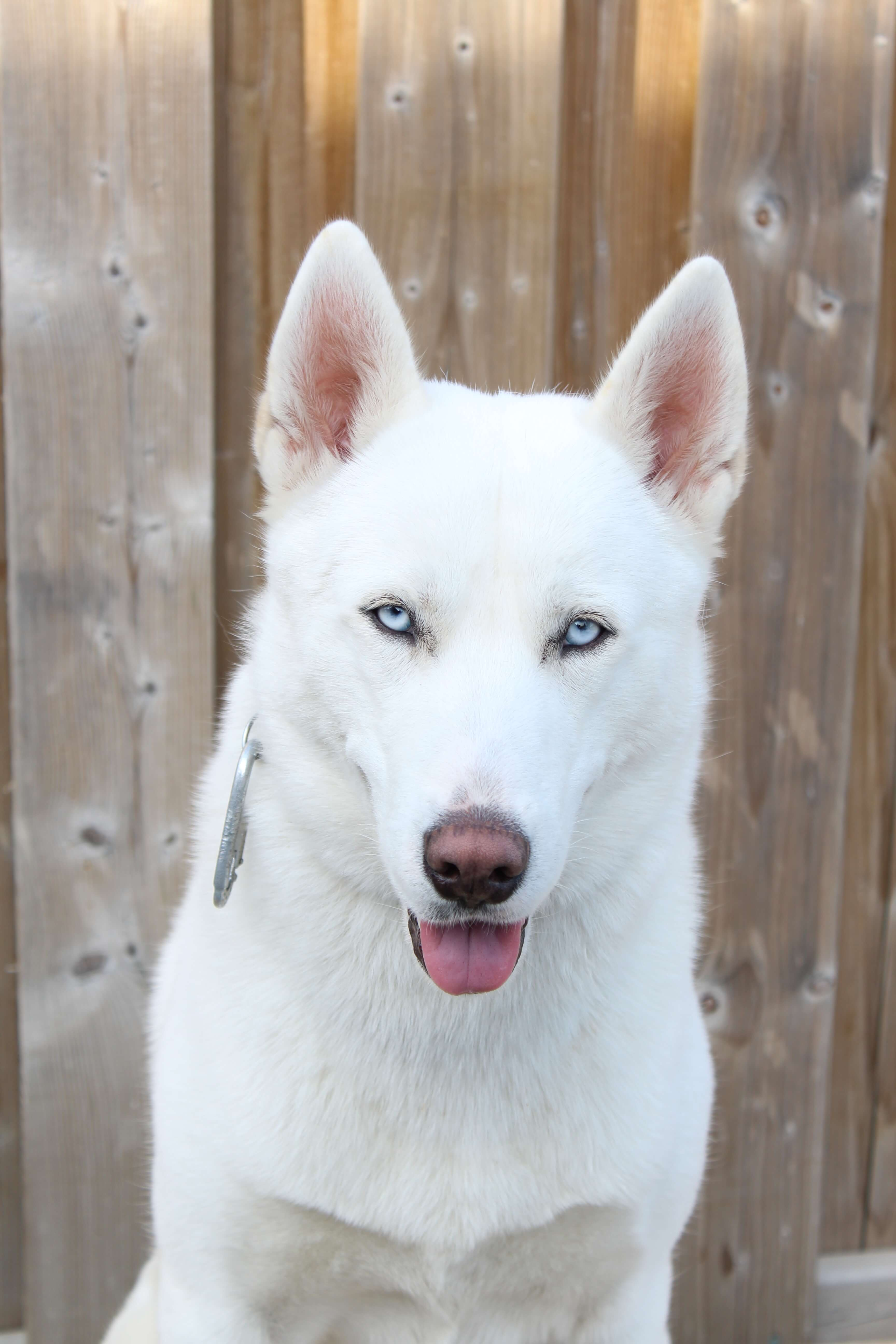a beautiful pure white husky with bright blue eyes posing with his tongue out and his ears sticking up.