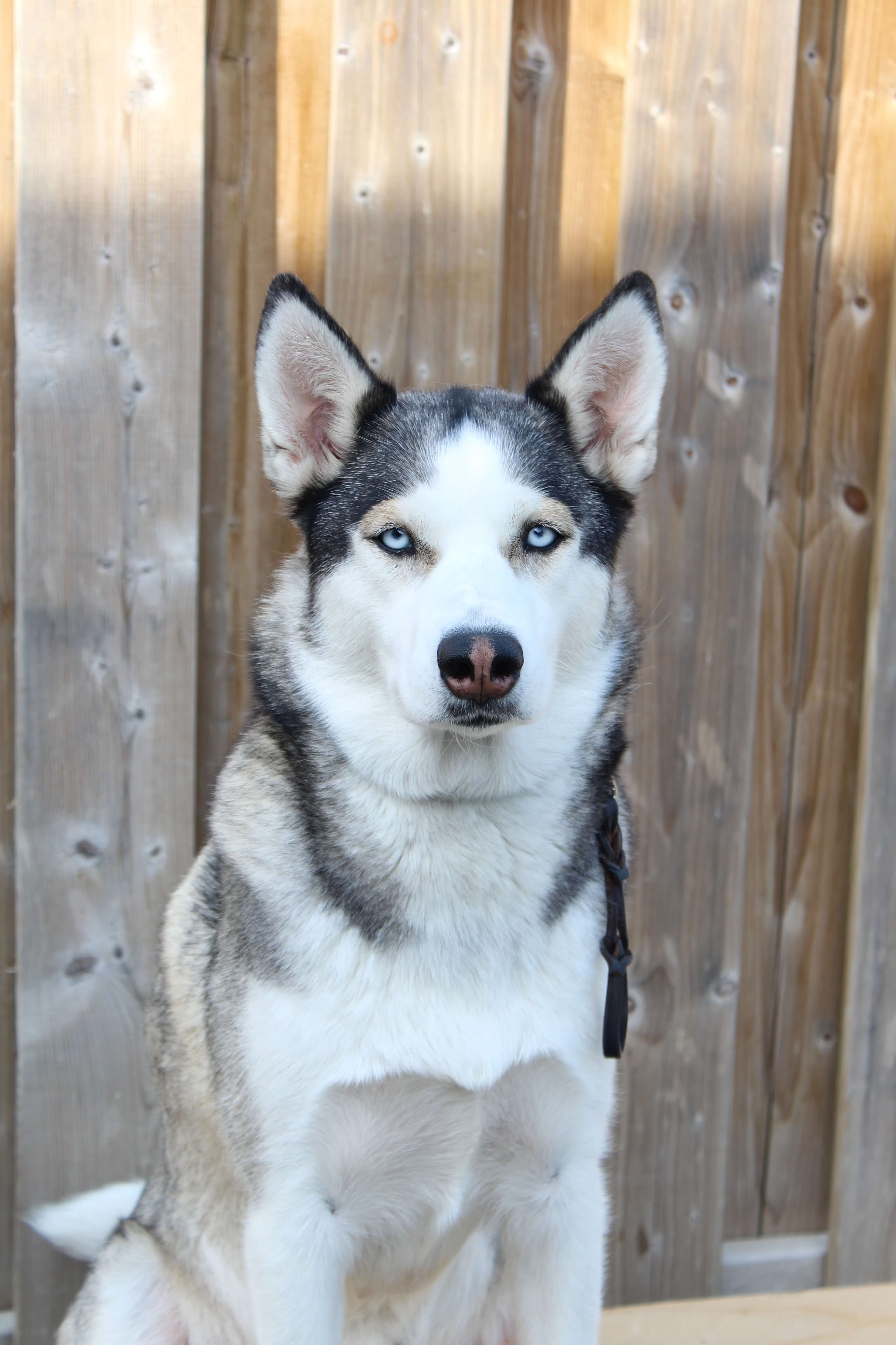 a candid photo of a typical looking siberian husky with black and white fur with an arctic-like background.