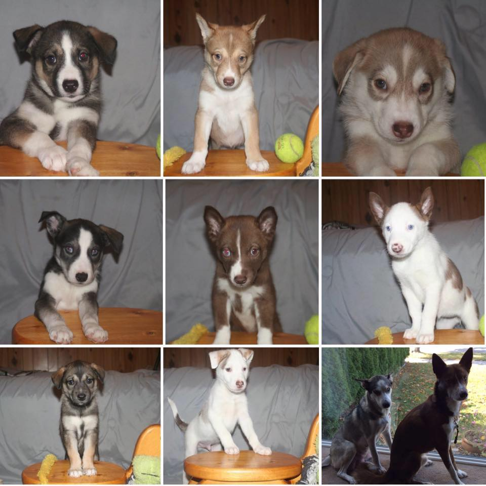 A 3x3 collage of Nymeria's puppies.