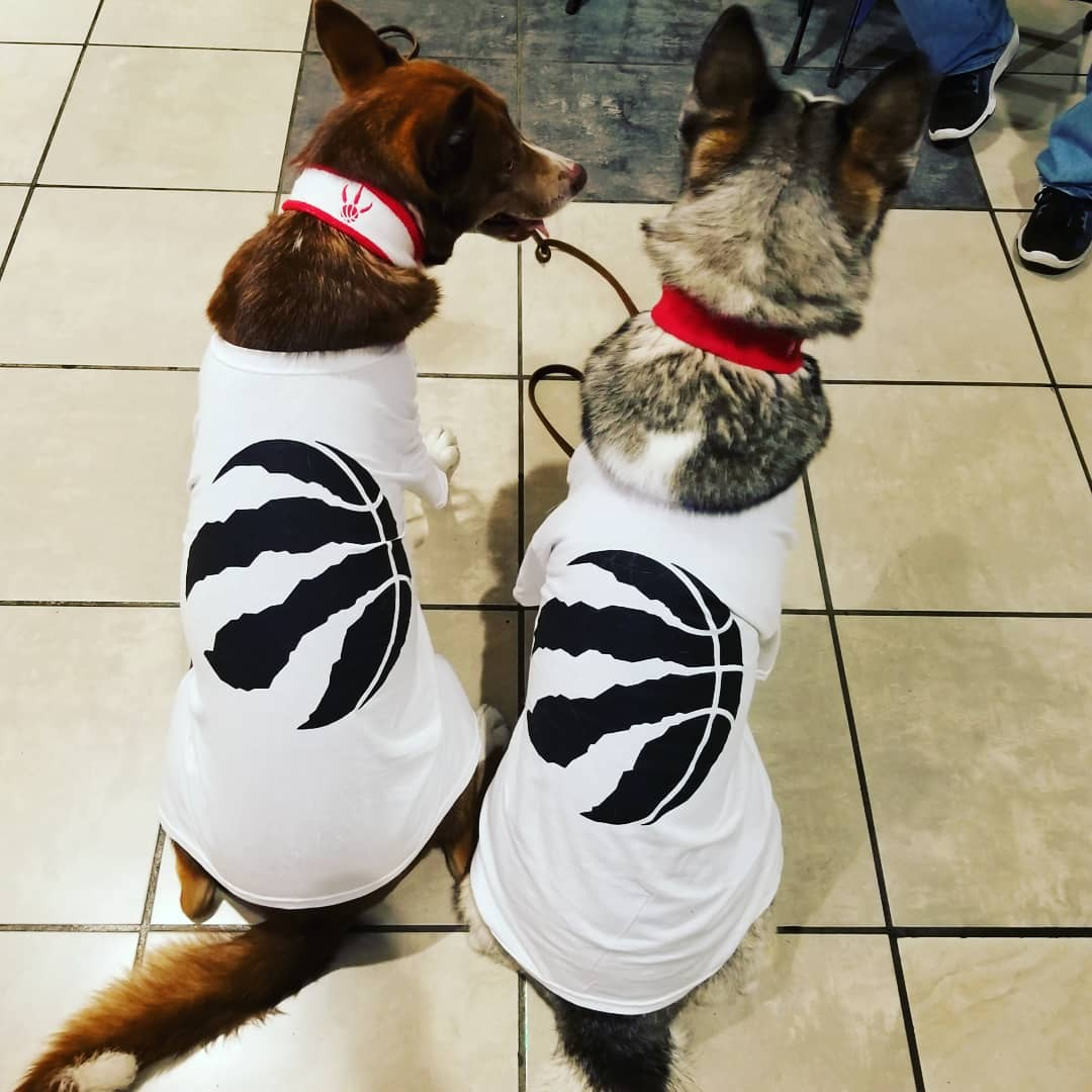 An image of the back side of two huskies repping toronto raptors t-shirts for an event at the Air Canada Center.